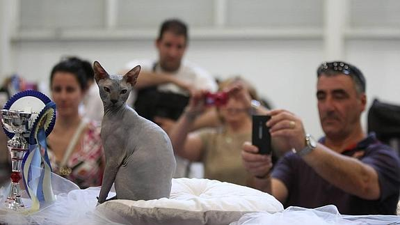 Exposición Internacional Felina en Valdemorillo