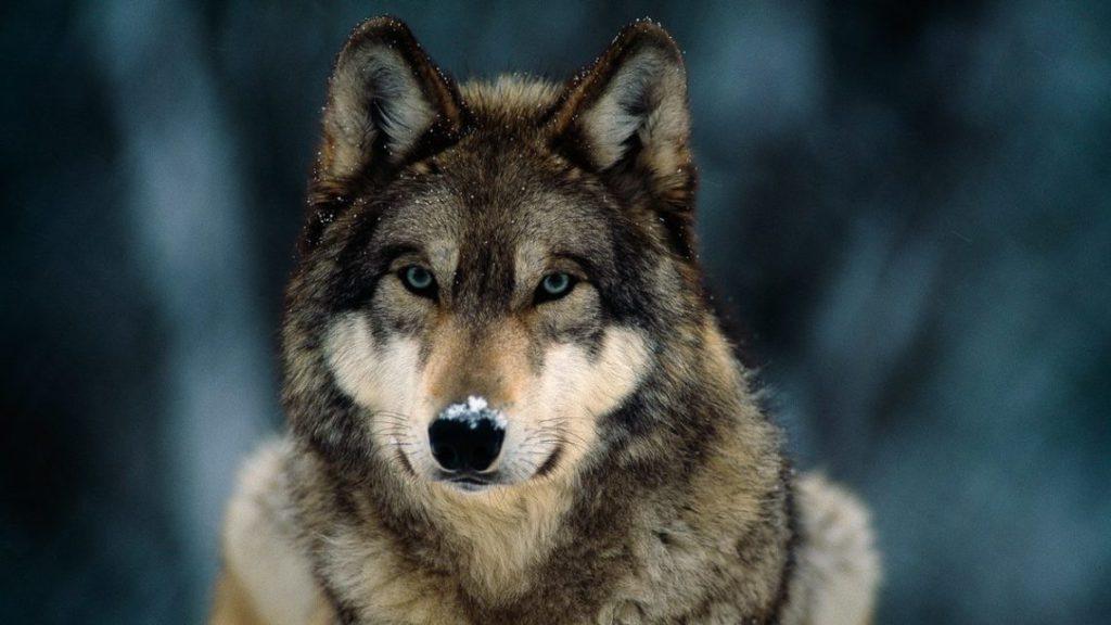 Hallan muerto de un tiro a un lobo que participaba en un estudio sobre la especie en Madrid
